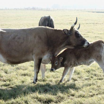 Une vache et un veau