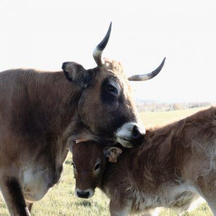Une vache pose la tête sur son veau
