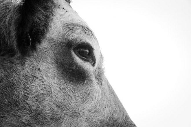 Profil de vache centré sur l'œil