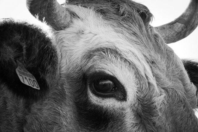 Gros sur l'œil d'un vache