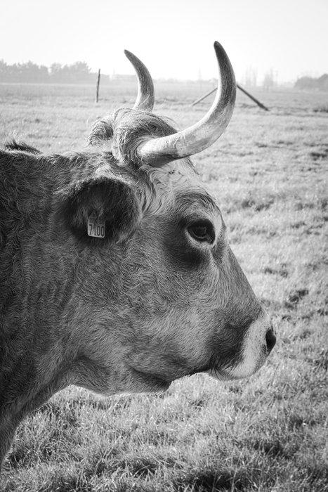 tête d'un vache de profil