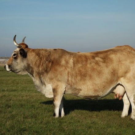 Vache maraîchine de profil