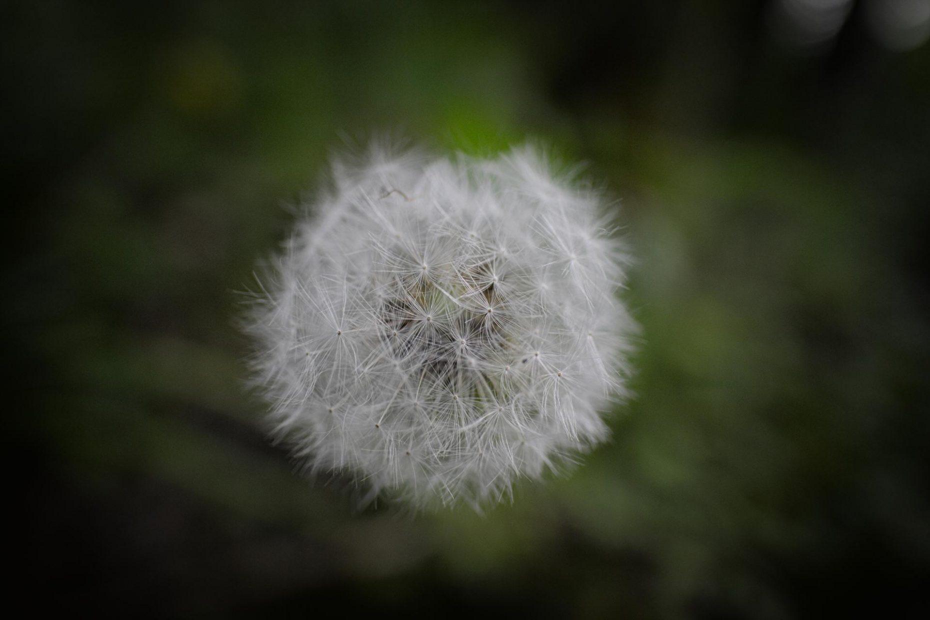 Fleur de pissenlit en graine