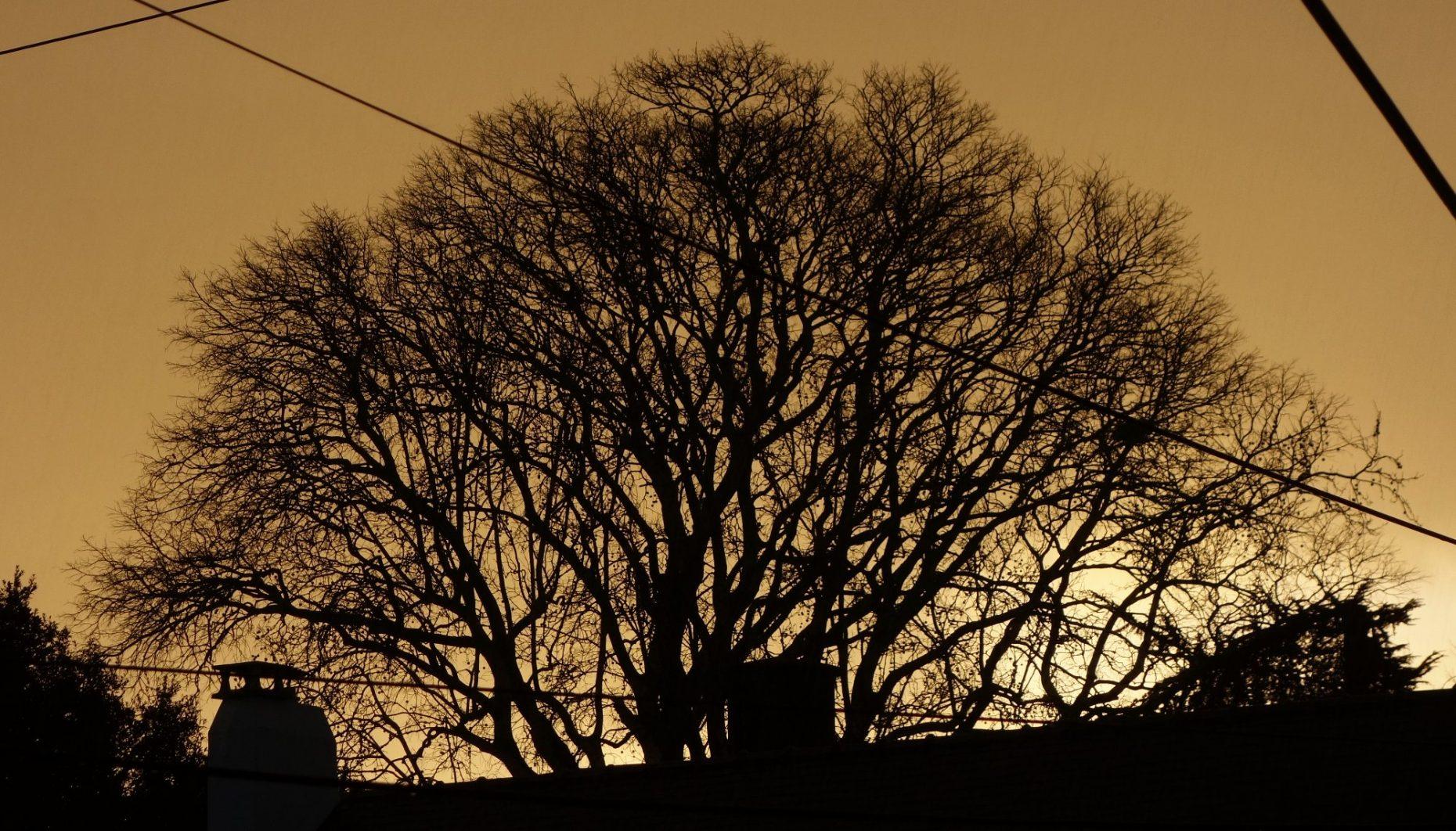 silhouette de chêne au lever de soleil